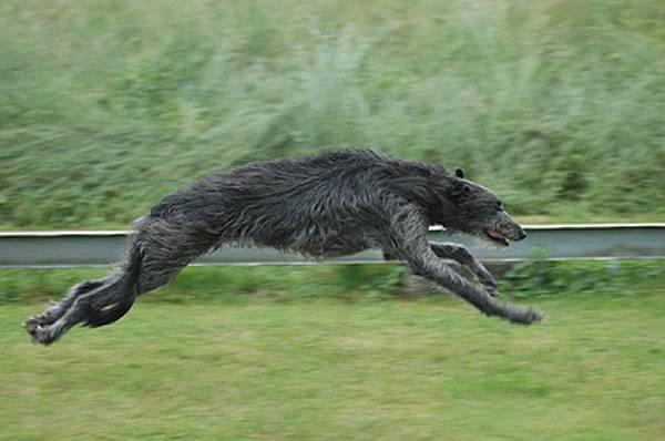 deerhound hunderassen