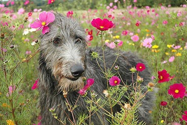 deerhound rassebeschreibung