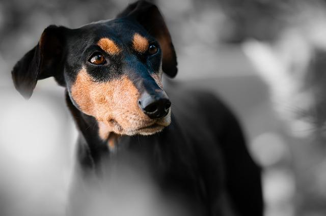 Deutscher Pinscher hundesprache