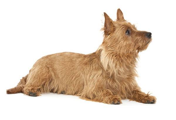 australian terrier kaufen