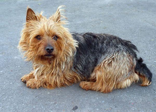 australian terrier welpen kaufen