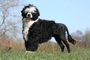 portugiesische Wasserhund