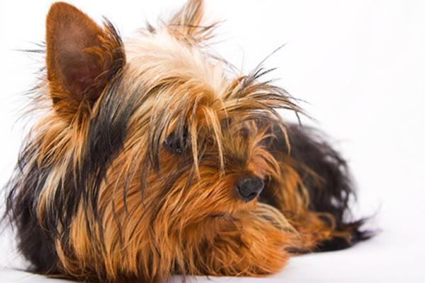 yorkshire terrier wie viel kilo