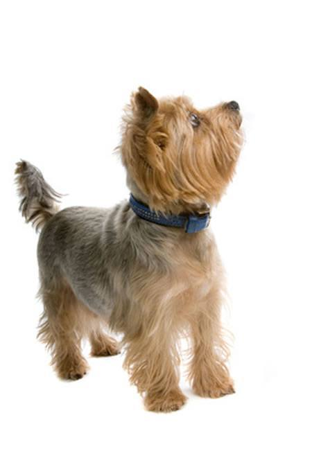 wo kauft man yorkshire terrier