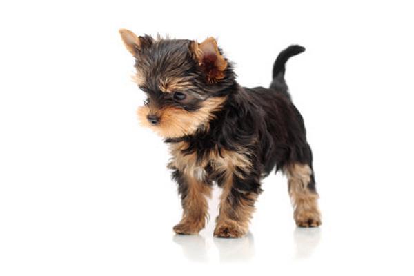 yorkshire terrier welpen kaufen