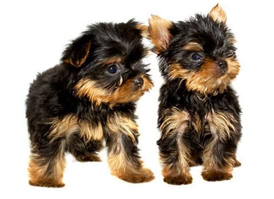 yorkshire terrier für wen geeignet