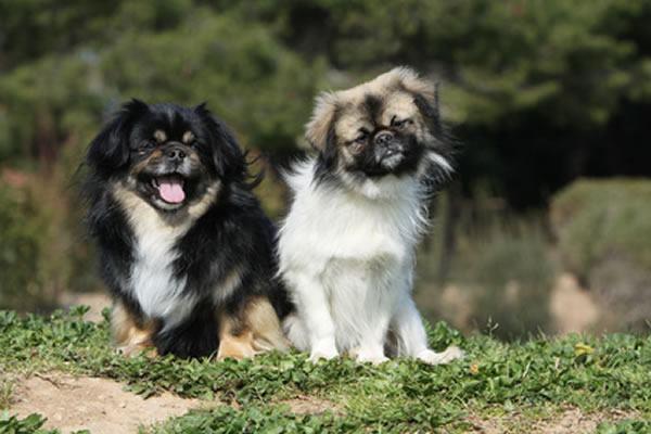 tibet spaniel hunderasse