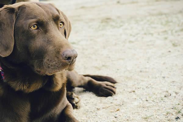 Hunderasse Labrador Retriever