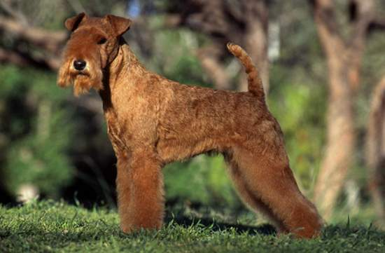 hunderasse lakeland terrier