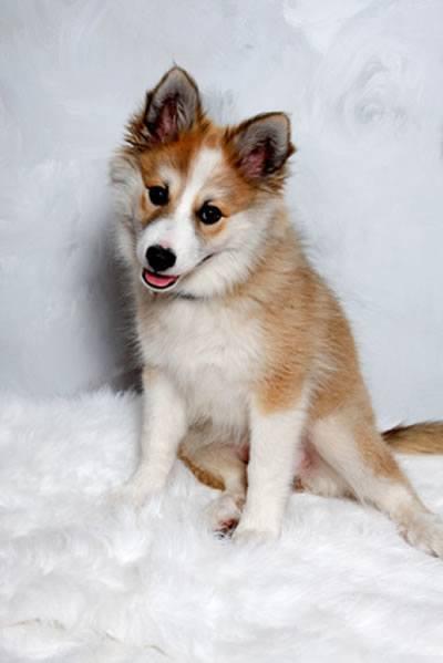 norwegischer lundehund