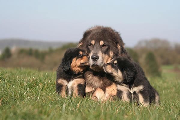 hunderasse tibet dogge