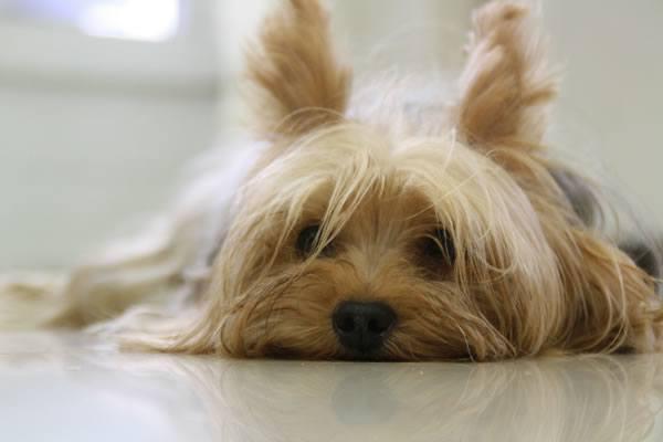 Hunderrasse Yorkshire Terrier