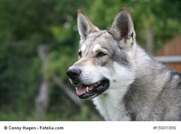 Saarloos Wolfhund