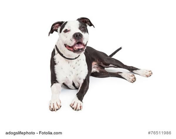 Wesen American Pit Bull Terrier