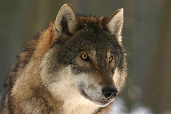 wolf-hund