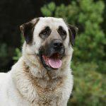 Anatolischer Hirtenhund - nur für sehr erfahrene Hundehalter