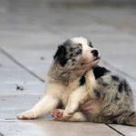Hund kratzt sich - mögliche Ursachen