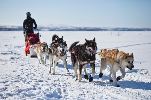 alsaskan malamute schlittenhund