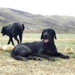 Schwarze Hunderassen