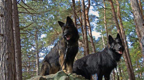 altdeutsche-schaeferhunde