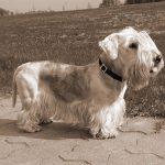 Tschechischer Terrier - Cesky Terrier