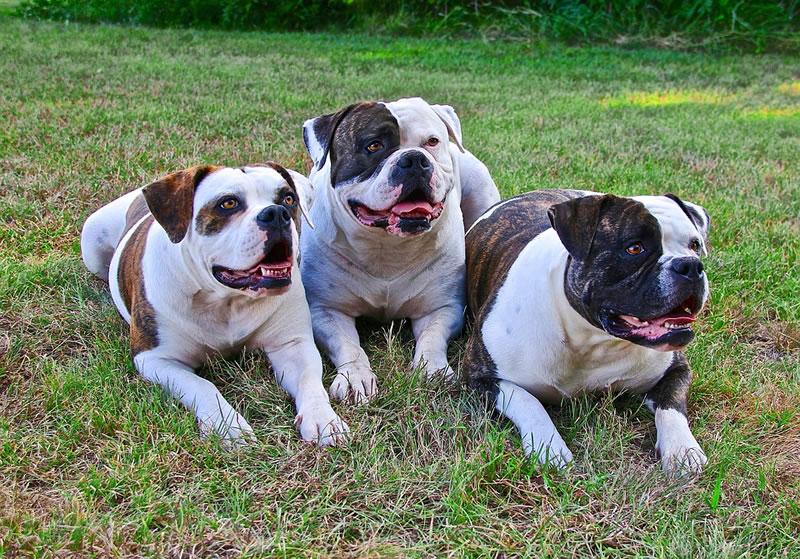 hunderasse american bulldog bilder und beschreibung bei welpen.de