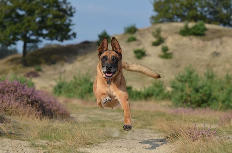 belgischer-schaeferhund