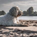 Goldendoodle Wesen und Temperament