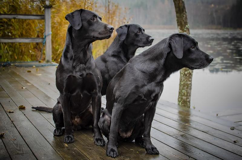 Labrador Retriever Hund Damen Loop Schal Schlauchschal