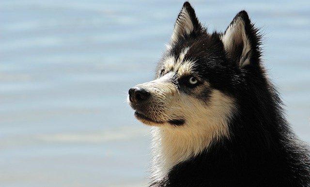 Hunderasse Alaskan Klee Klai