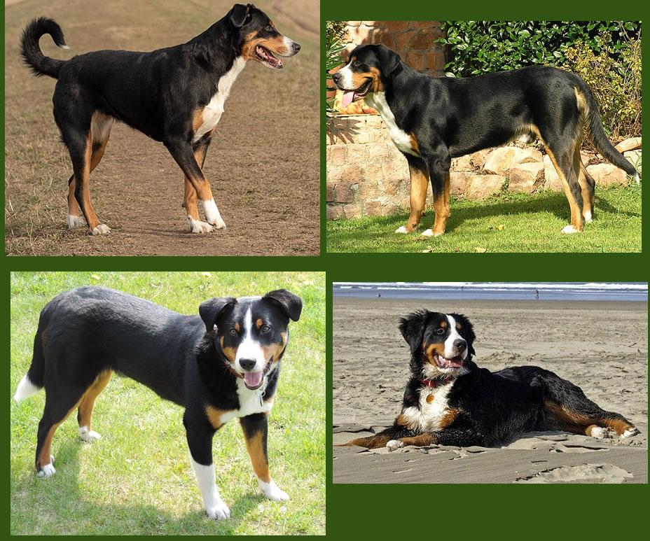 swissy dog swissydog