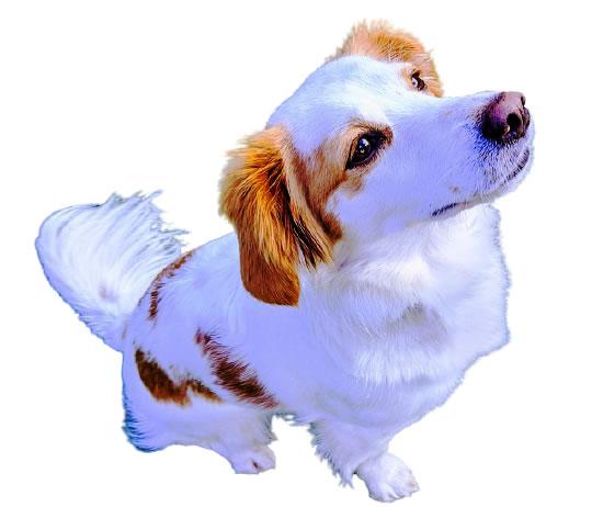 Kokoni - griechische Hunderasse