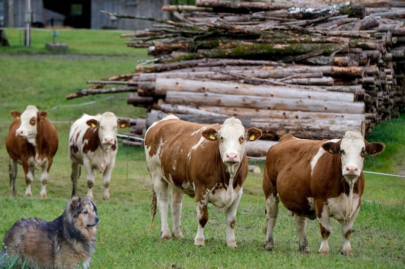 westerwälder kuhhund