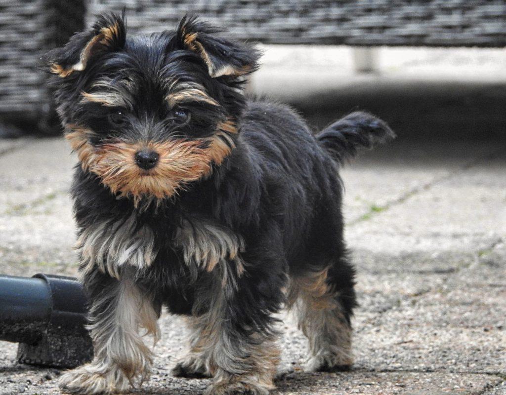 yorkshire terrier kalle